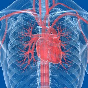 Hvordan fungerer hjertet