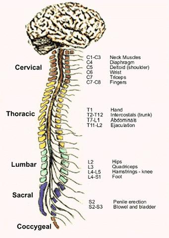 Det perifere nervesystemet