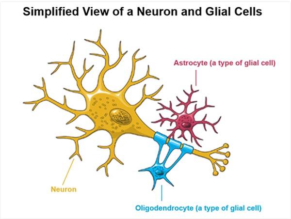 Illustrasjon av gliaceller (rød og blå). bilde fra http://neuroforbundet.se