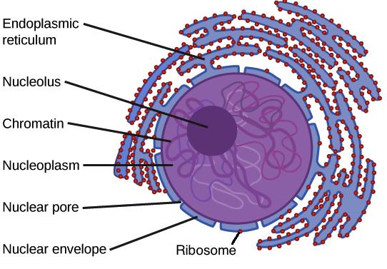 ribosomer. Black Bedroom Furniture Sets. Home Design Ideas