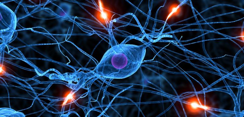 Sentralnervesystemet er plassert iryggmargen og hjernen.