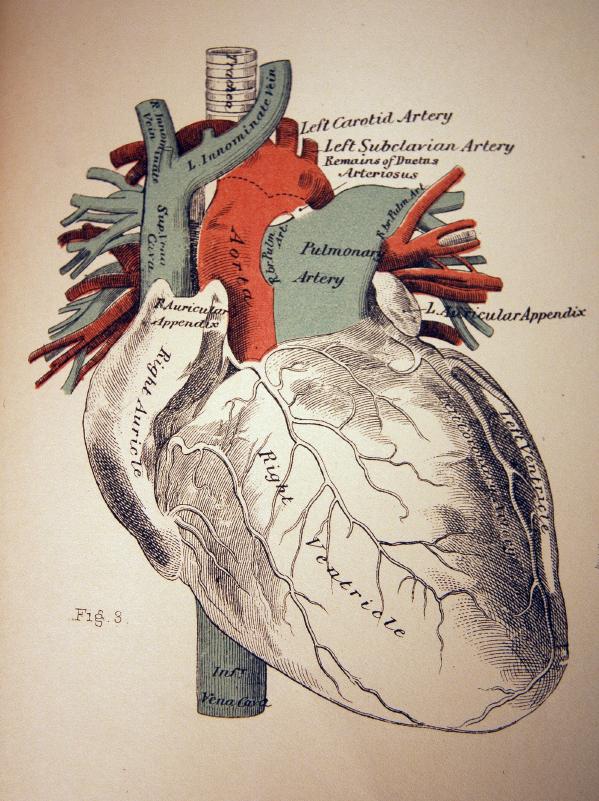hjertets funksjon