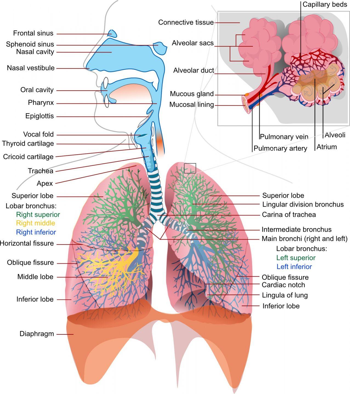 Luftrøret kalles trakea og er 10-12 cm langt hos et voksent menneske.