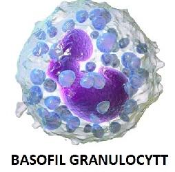 Basofil granulocytt
