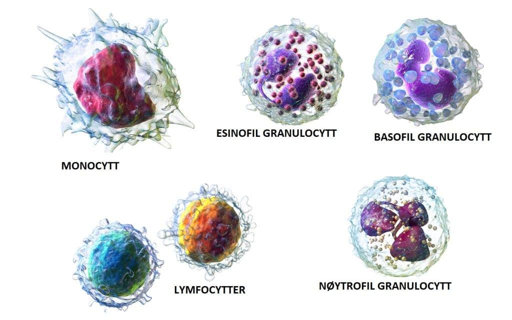hvite blodceller